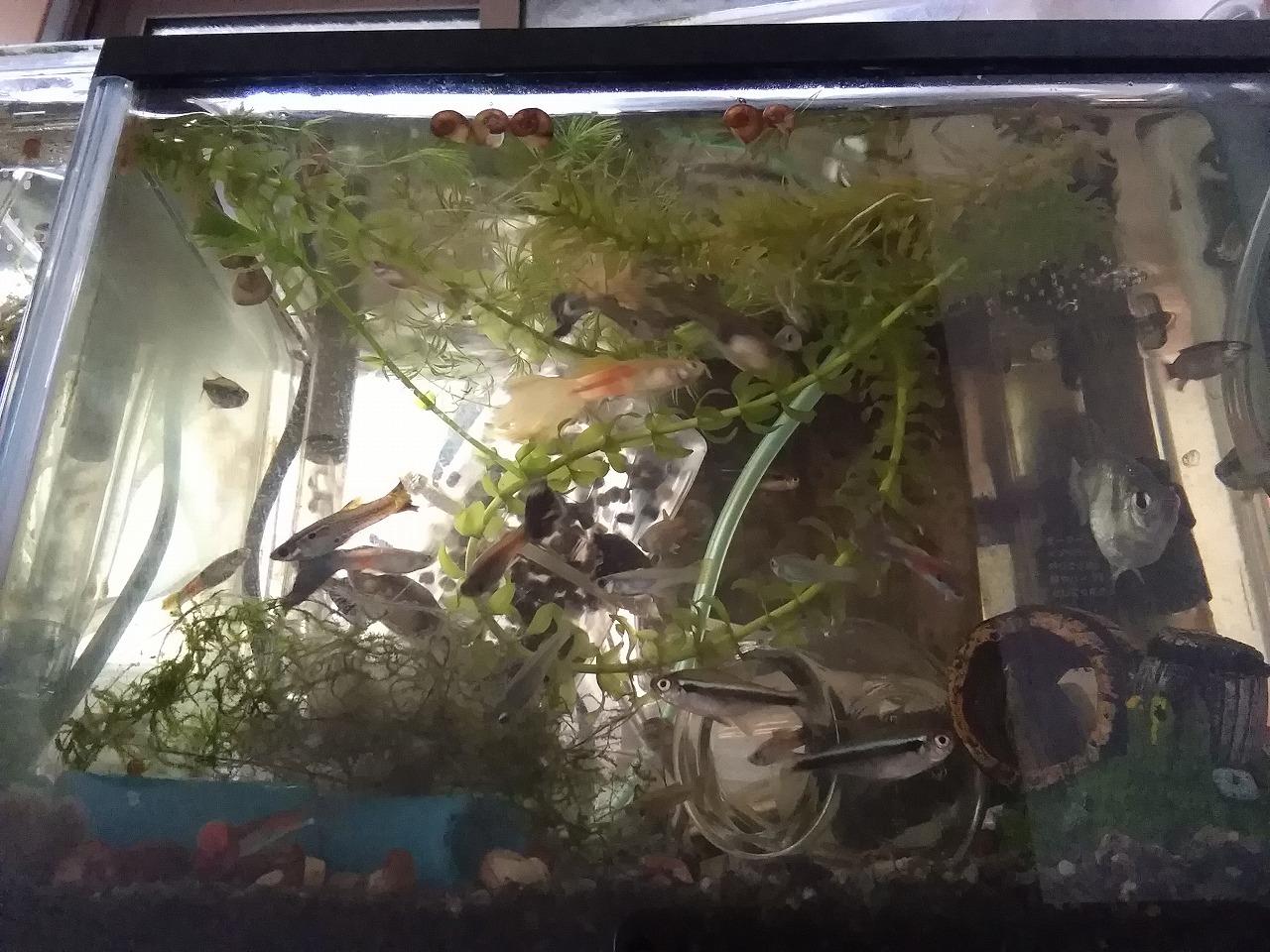 炭素繊維で10L過密飼育! 魚48匹に減少 アクアリウム20170507