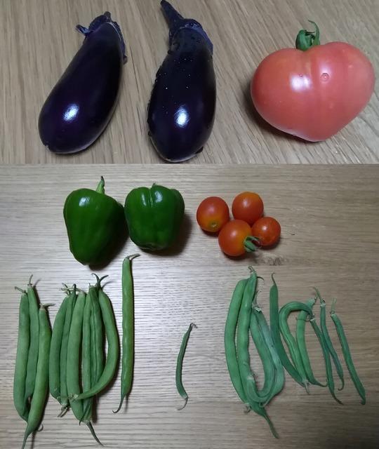 安納芋も芽を出した! 日差しが強くなってモリモリ伸びる! 家庭菜園20170709